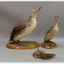 Three Bird Specimens