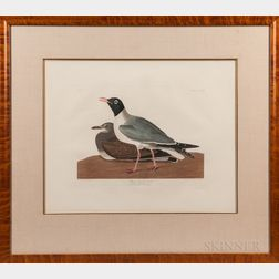 Audubon, John James (1785-1851) Black-headed Gull  , Plate CCCXIV.