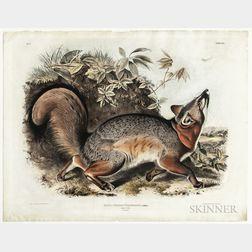 Audubon, John James (1785-1851) Canis (Vulpes) Virginianus, Grey Fox  , Plate XXI.
