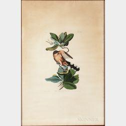 Audubon, John James (1785-1851) Mangrove Cuckoo  , Plate CLXIX.