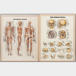 Two Original Hand-painted Anatomical & Visual Aids with Overlays