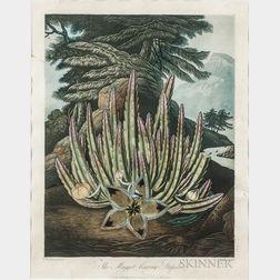 Thornton, Robert John (1768-1837) The Maggot-bearing Stapelia.