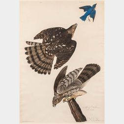 Audubon, John James (1785-1851) Stanley Hawk  , Plate 36 [from] Birds of America.