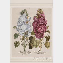 (Botanical), Besler, Basilius (1561-1629)