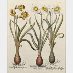 (Botanical Illustration), Besler, Basilius (1561-1629)