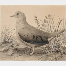 Louis Agassiz Fuertes (American, 1874-1927)      Ground Dove. Female