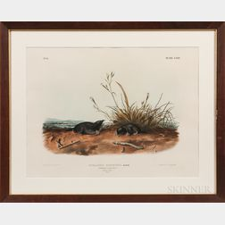 Audubon, John James (1785-1851) Brewer's Shrew Mole  , Two Copies, Folio and Octavo.