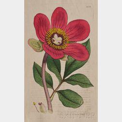(Botanical), Sowerby, James (1757-1822) & Smith, Sir James Edward (1759-1828)