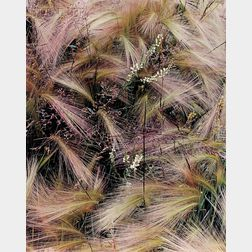 Eliot Porter (American, 1901-1990)      Foxtail Grass, Lake City, Colorado, August, 1957.