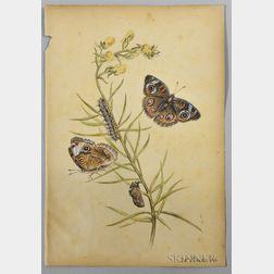 Titian Ramsay Peale (American, 1800-1885)      Common Buckeye