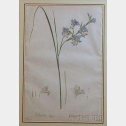 (Botanical Illustration), Redoute, Pierre-Joseph (1759-1840)