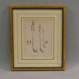Framed Botanical Print of Coral-roots