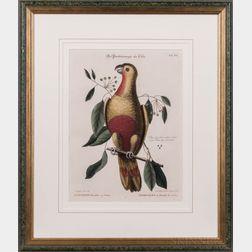 Catesby, Mark (1682-1749) Der Paradiespapagen aus Cuba, Psittacus Paradisi ex Cuba, Perroquet du Paradis de Cuba, Plate 20 [from] The N