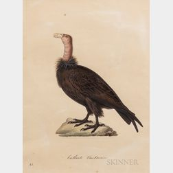 Temminck, Coenraad Jacob (1778-1858) Catharte Vautourin (Vulture).
