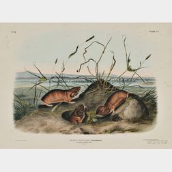 Audubon, John James (1785-1851) Columbia Pouched Rat,   Plate CV.