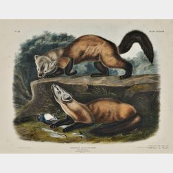 Audubon, John James (1785-1851) Pine Marten,   Plate CXXXVIII.