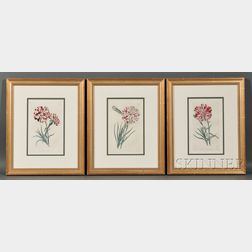 Three Hand-colored Engraved Book Illustrations of Carnations