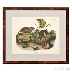 Audubon, John James (1785-1851) Brown or Norway Rat,   Plate LIV.