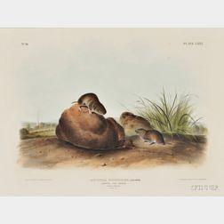 Audubon, John James (1785-1851) Lecontes Pine Mouse,   Plate LXXX.