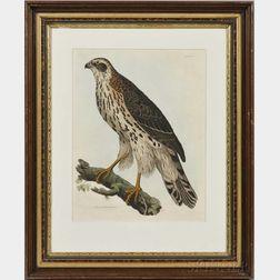 Selby, Prideaux John (1788-1867) Young Goshawk, Male.