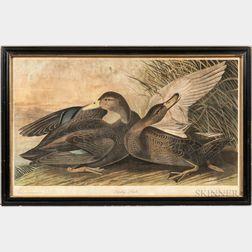 Audubon, John James (1785-1851) Dusky Duck.