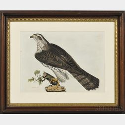 Selby, Prideaux John (1788-1867) Goshawk, Adult.