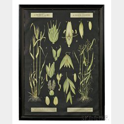 Botanical Illustrations, Two Large Posters.