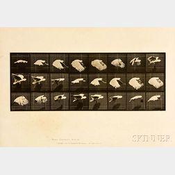 Eadweard Muybridge (British, 1830-1904)      Plate 759 (Flying Cockatoo), from Animal Locomotion