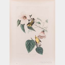 Audubon, John James (1785-1851) Blue Winged Yellow Warbler  , Plate 20.