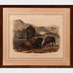 Audubon, John James (1785-1851) Bos Americanus, American Bison or Buffalo,   Plate LVII.
