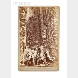 Carleton E. Watkins (American, 1829-1916)      Section of the Grizzly Giant, Mariposa Grove.
