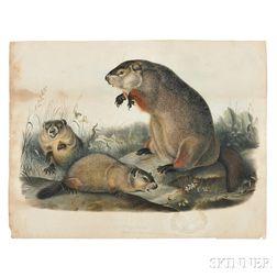 Audubon, John James (1785-1851) Ground-hog  , Pre-publication Hand-colored Proof.