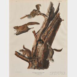 Audubon, John James (1785-1851) Common Flying Squirrel