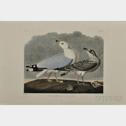 Audubon, John James (1785-1851) Common Gull  , Plate CCXII.