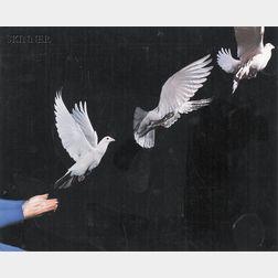 Harold Eugene Edgerton (American, 1903-1990)      Pigeon in Flight
