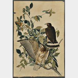 Audubon, John James (1785-1851) Broad-winged Hawk,   Plate 91.