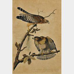 Audubon, John James (1785-1851) Red-shouldered Hawk,   Plate 9.