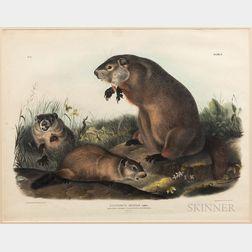 Audubon, John James (1785-1851) Plate II, Arctomys Monax Gmel., Maryland, Marmot, Woodchuck, Groundhog