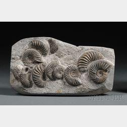 Group of Ammonites