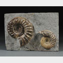Ammonite Group