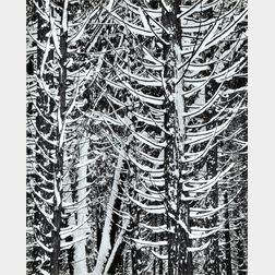 Ansel Adams (American, 1902-1984)      Forest Detail, Winter, Yosemite National Park, California