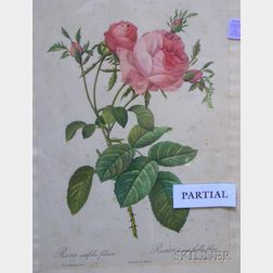 Lot of Four Framed Pierre-Joseph Redoute Lithographs of Roses.