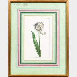 French School, 18th/19th Century      Five Framed Botanical Prints of Tulips.