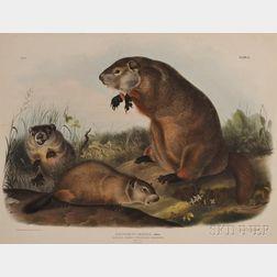 Audubon, John James (1785-1851)   Maryland Marmot, Woodchuck, or Groundhog