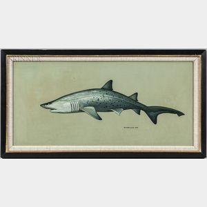 Richard Ellis (American, b. 1938)      Shark