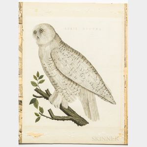 Sepp, Jan Christiaan (1739-1811) After Cornelius Nozeman (1720-1786) Strix Nyctea, Snowy Owl.