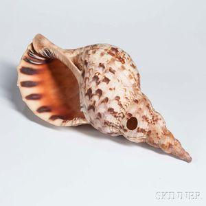 Micronesian Triton Shell Trumpet