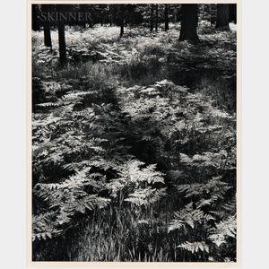Ansel Adams (American, 1902-1984)      Ferns, Valley Floor