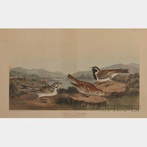 Audubon, John James (1785-1851) Lapland Long-spur