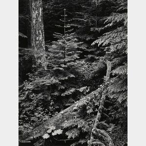 Ansel Adams (American, 1902-1984)      Forest, Early Morning, Mount Rainier Park, Washington